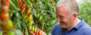 David Currid cheking his Tomatoes at Grantstown Tomatoes