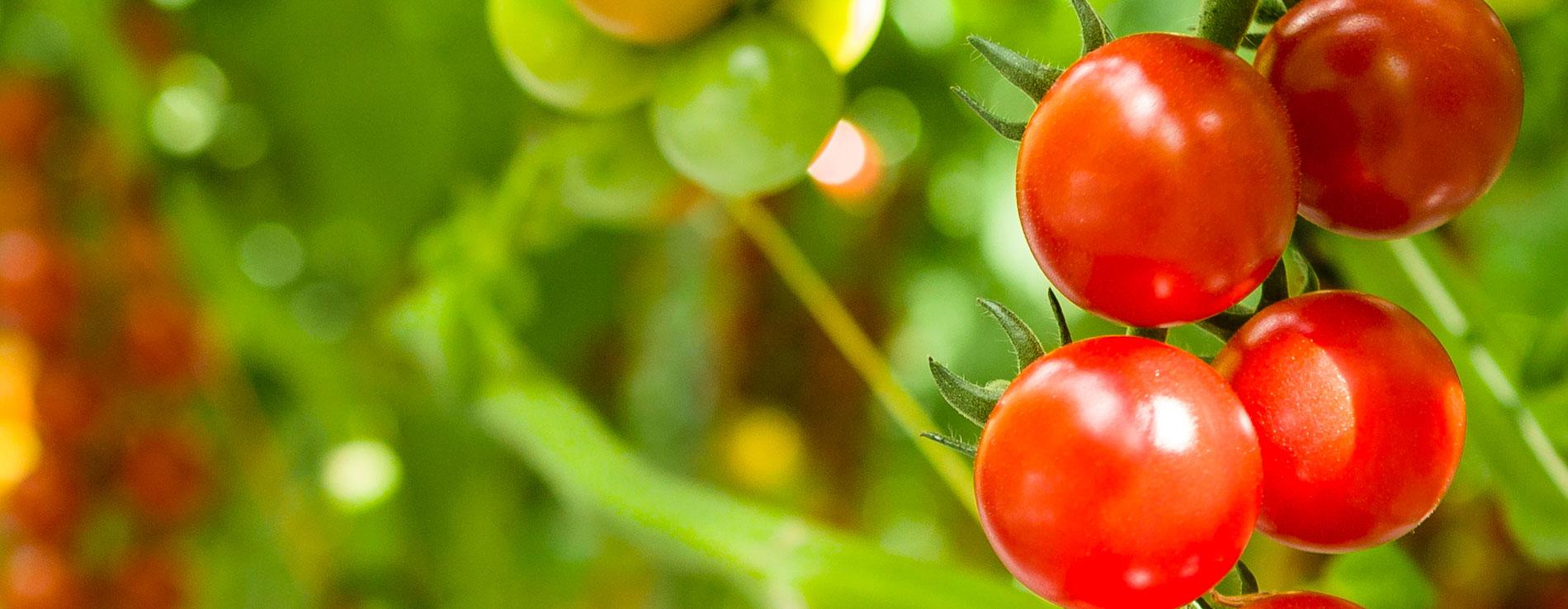 Grantstown Tomatoes Cherry Tomatoe